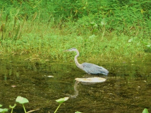 Blue Heron (2)