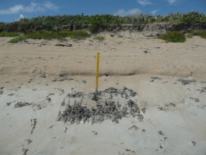 Stake and mesh protection on sea turtle nest