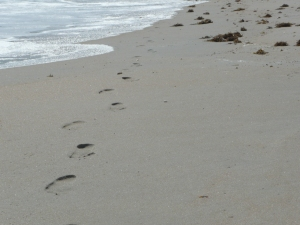 Footprints past sargassum weed
