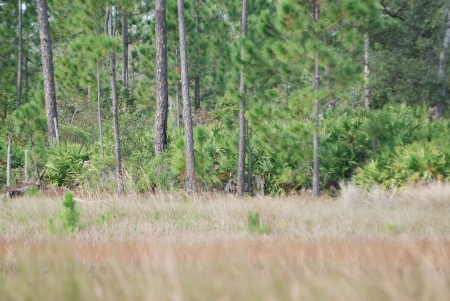 Pine Flatwoods (background), Flatwoods pond/marsh (foreground)