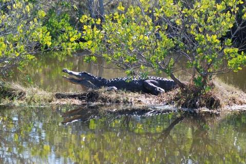 American Alligator we nicknamed 'Hef'
