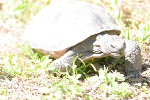 Gopher tortoise on a mission