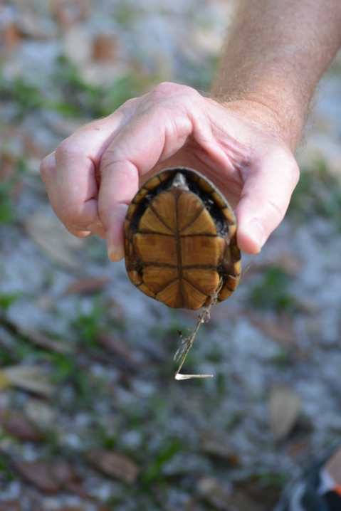 Musk turtle - bottom shell or plastron