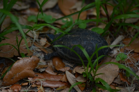 Musk turtle on the move!