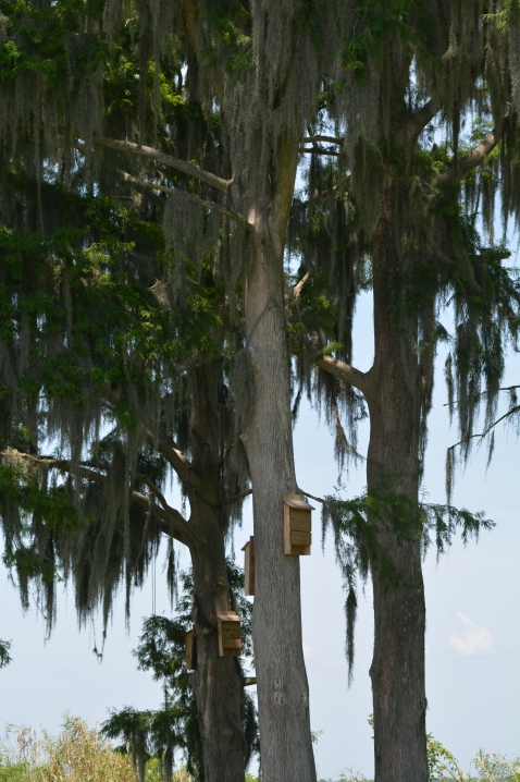Bat houses on cypress trees