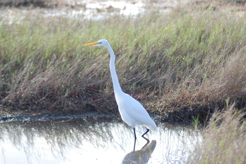 Great egret on the prowl