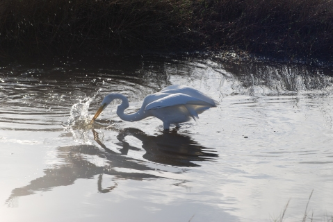 Great egret going for prey
