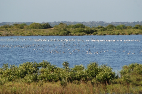 Scores of water fowl