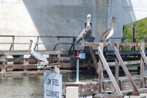 Brown Pelicans near drawbridge over Haulover Canal