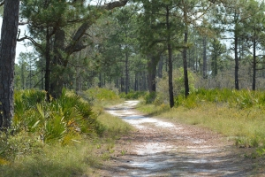 Trail through pine flatwoods