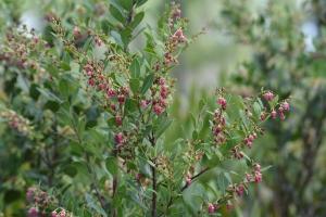 Fetterbush lyonia (Lyonia lucida)