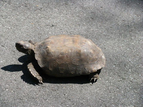 Gopher tortoise on trail