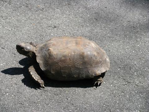 Gopher tortoise on trail
