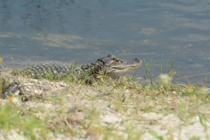 Uhhh you guessed it... I almost stepped on an aligator. Oops!